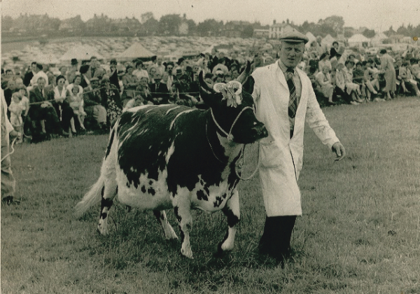 John Gray on show with one of the first prize winning pedigree Ayrshire cows that were introduced to the farm in 1943.