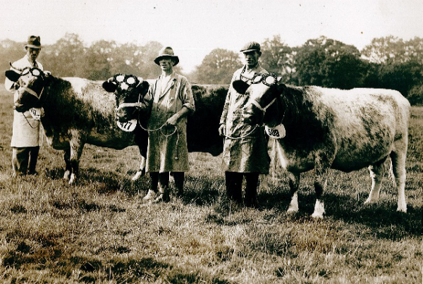 James Gray at the Chertsey Show in 1943 with some of the prize winning Shorthorn cows that were originally kept on the farm.